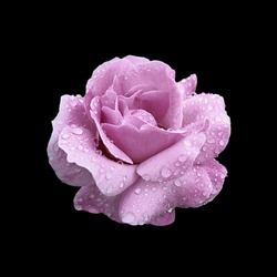 Purple pink rose isolated on black background