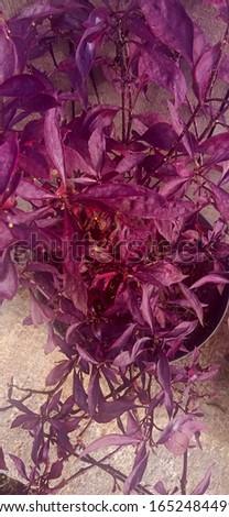 purple plante planted in pots