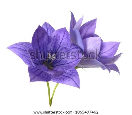 purple Platycodon grandiflorus flowers isolated on white background