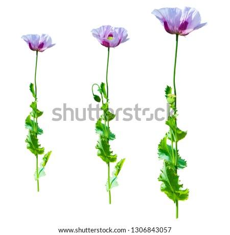 Purple poppy flower in bright sunlight, poppy flower in morning light