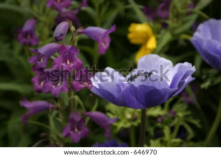 Purple poppy in garden
