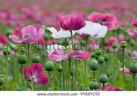 Purple poppy plants blooming. Rain has just stopped.