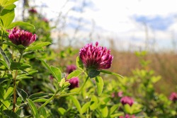 Purple-red flowers of zigzag clover (Trifolium medium) in the field on a sunny morning, close-up, copy space for text