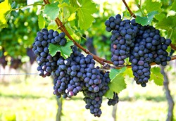 purple red grapes with green leaves on the vine. fresh fruits