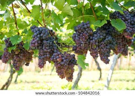 purple red grapes with green leaves on the vine. vine grape fruit plants outdoors