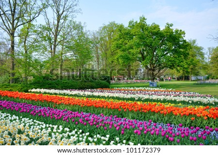 Purple, red, white and orange tulips in Keukenhof park in Holland