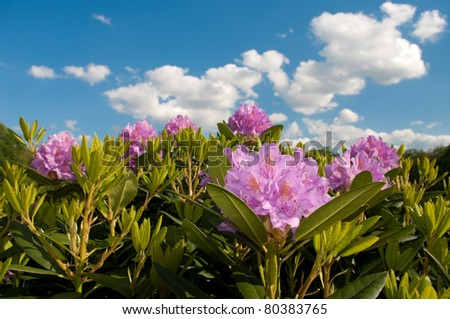purple rhododendron flowers against a blue sky