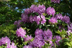Purple Rhododendron In Morning Light