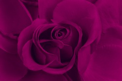 Purple rose close up, creative work