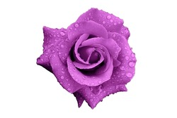 Purple Rose Flower with Rain Drops Isolated on White