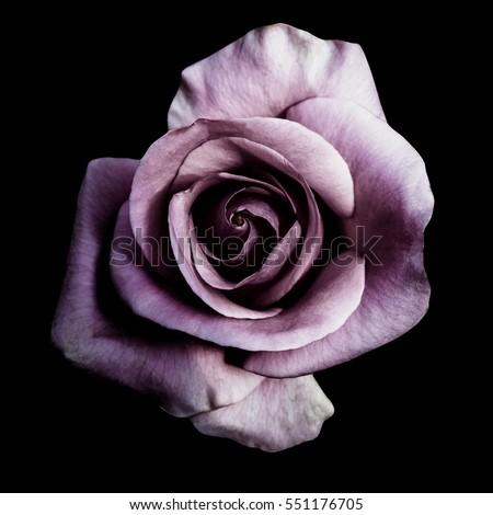 purple rose isolated on black...