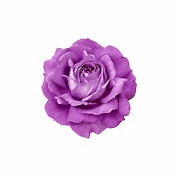 Purple rose isolated on white background