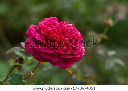 Purple rose on the branch in the garden. Munstead Wood roses in garden. English Rose Munstead Wood