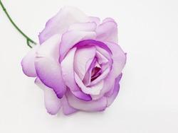 purple roses on white background
