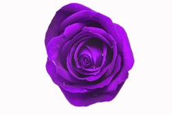 Purple roses with rain drops on a white background.
