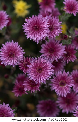 Purple round flowers. Chrysanthemum - herbaceous perennials and annuals of the family Astropey or Asteraceae #750920662