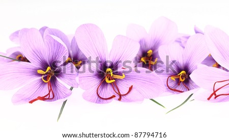Purple Saffron Crocus flowers banner