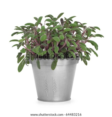 Purple sage herb plant growing in a distressed pewter pot and scattered, isolated over white background. Salvia.