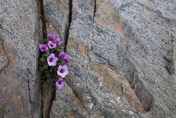 Purple saxifrage flowering in a crack between rocks. Photographed in Helgeland, Nordland, Norway.