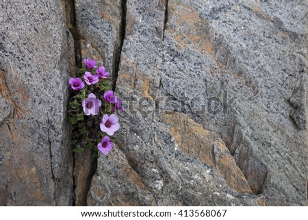 Purple saxifrage flowering in a crack between rocks. Photographed in Helgeland, Nordland, Norway. #413568067