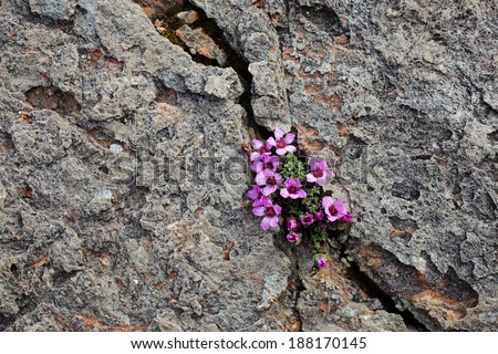 Purple saxifrage, one of the first spring flowers, growing at calcareous rocks at Norwegian coast. #188170145