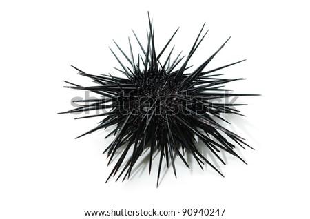 purple sea urchin Stockfoto ©