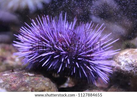Purple sea urchin housed in an aquarium  Stockfoto ©