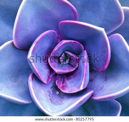 purple sempervivum petals See my portfolio for more