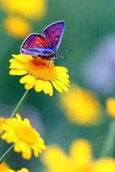 Purple-shot Copper - Lycaena alciphron