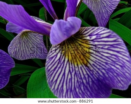 Purple Siberian Iris Close-Up