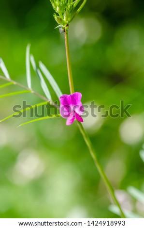 purple small flower of vicia sativa
