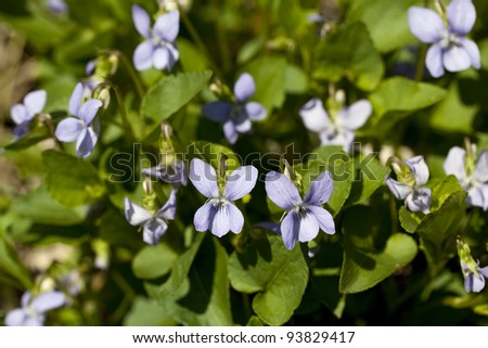 purple small flowers ( Viola odorata) on meadow