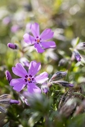 purple spring flower Phlox (plamenka) in the garden. Detail macro spring photo