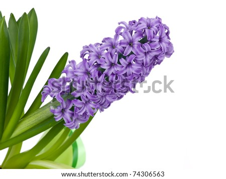 Purple spring hyacinth isolated on pure white background