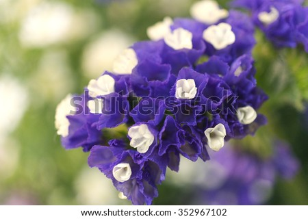 Purple statice flowers, close up, blurred