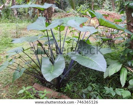 Purple stem taro (Xanthosoma violaceum)