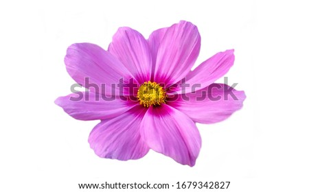 Photo of  Purple sulfur cosmos isolated on white background