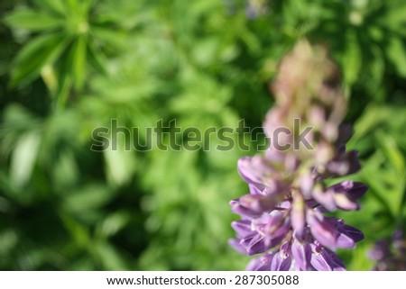 Purple Summer Flowers (Veronica) Close up of Beautiful Purple Spiked Speedwell and Blurred Backyard Lush Green Grass