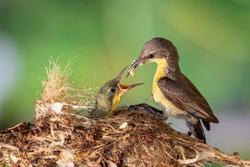 Purple Sunbird (Female) feeding baby bird in the bird's nest. Bird.