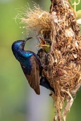 Purple Sunbird (Male) feeding baby bird in the bird's nest.