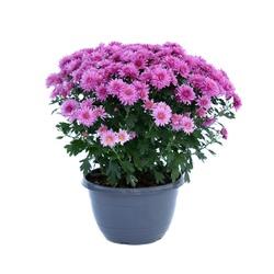 Purple terry Chrysanthemum in a flowerpot
