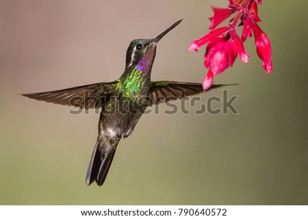 Purple-throated Mountain Gem Hummingbird #790640572