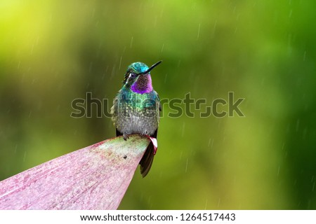 Purple-throated Mountaingem Lampornis calolaemus sitting on flower, bird from mountain tropical forest, Waterfalls garden, Costa Rica, bird perching on flower, enough space in background, rain  #1264517443