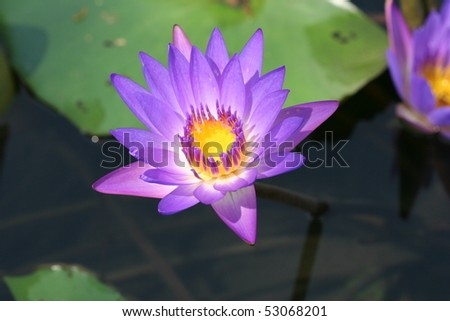 purple tropical water lily with leaf - stock photo