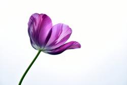 Purple tulip flower on light background
