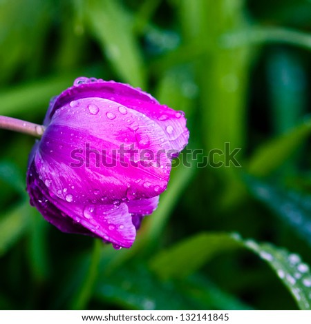 Purple tulip in garden after the rain. selective focus, shallow dof