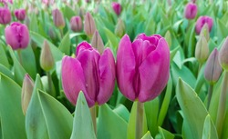 Purple tulips against green foliage background. Magenta tulips. Purple tulip buds. Blooming tulips background. Tulips backdrop.