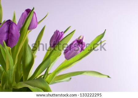 Purple tulips blossom on lilac background side view