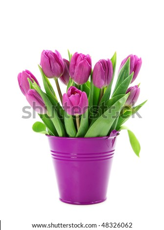 Purple tulips in bucket isolated on white background