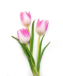 Purple tulips isolated on a pure white background